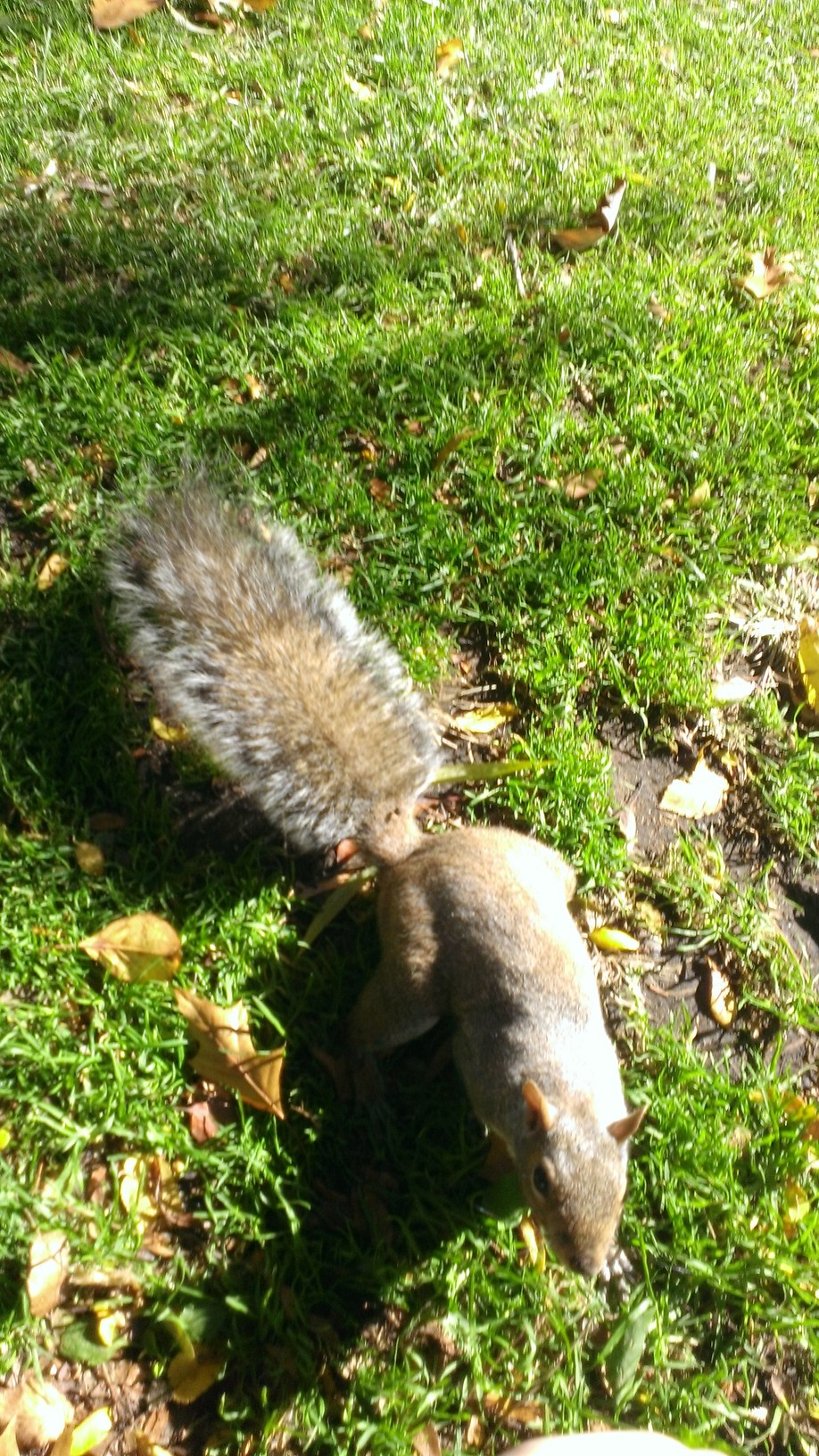 Boston squirrel